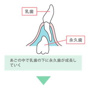 あごの中で作られる永久歯の様子